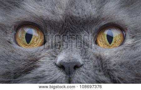 Eyes of a persian cat macro