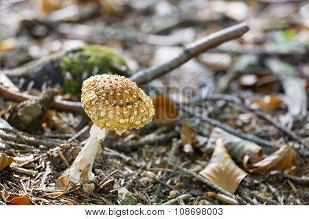 Withered red toadstool