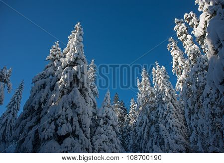 Snow Covered Fir-trees