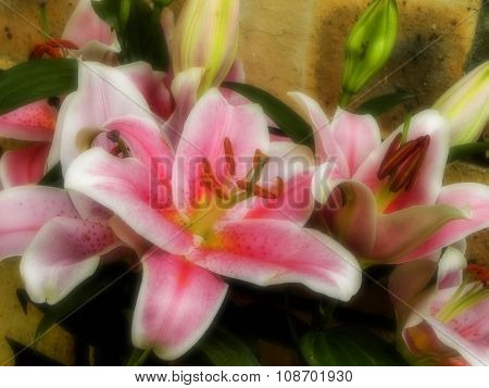 Pink Lily's