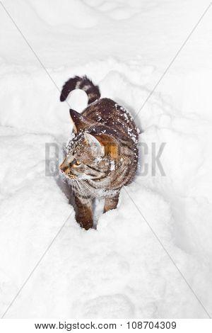 Cat Strolling In Snow In Winter