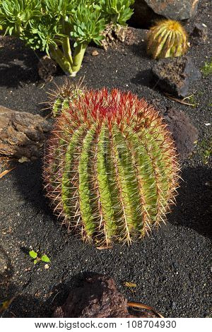 Beautiful Ball Cactus In Lapilli Earth
