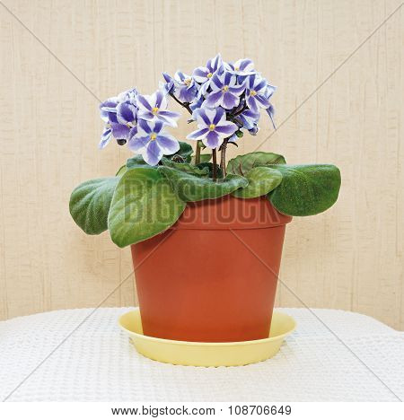 Violets In A Pot.