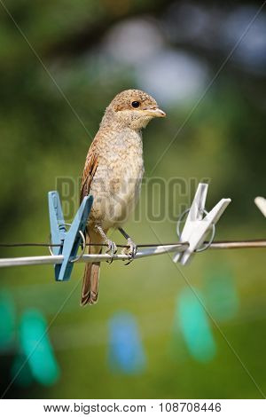 Portrait Of An Young Red-backed Shrike On A Wire For Drying Clothes, Russia
