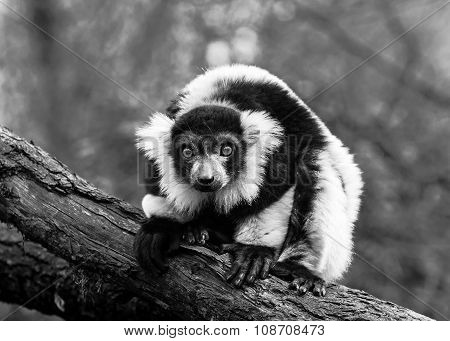 Black-and-white Portrait Of Black-and-white Ruffed Lemur