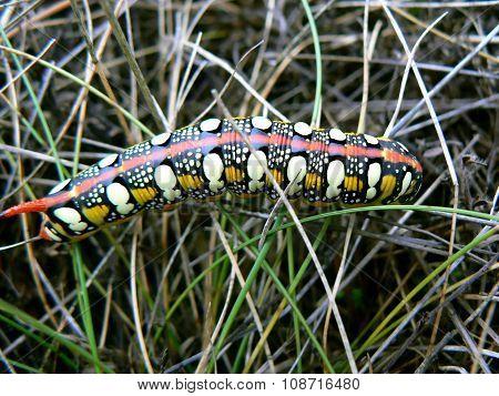 Spurge Hawk-moth (Hyles euphorbiae)