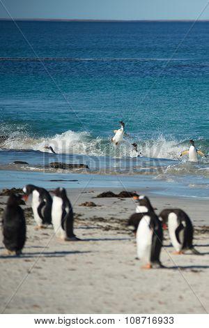 Acrobatic Gentoo Penguins