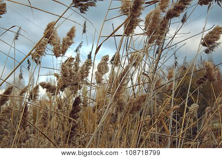 Reed in the quiet evening with sky and clouds