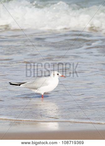 Bird Seagull Came Into The Sea