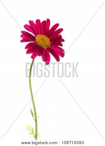 Bright Purple Daisy