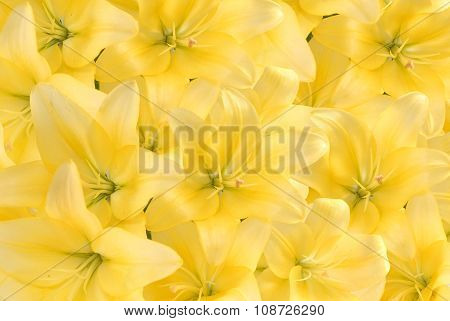 Background from yellow lilies