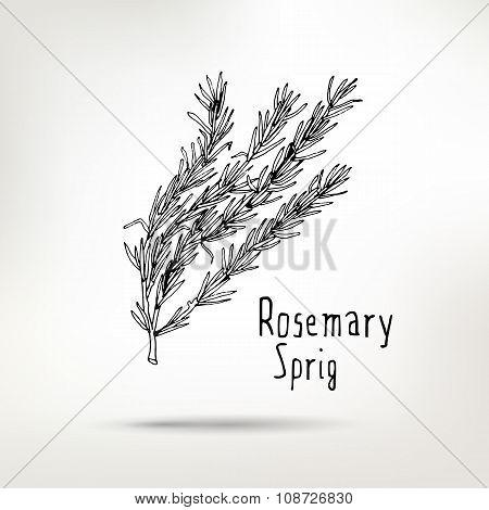 Rosemary Ink Drawn Sprig