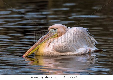 Great White Pelican Swimming
