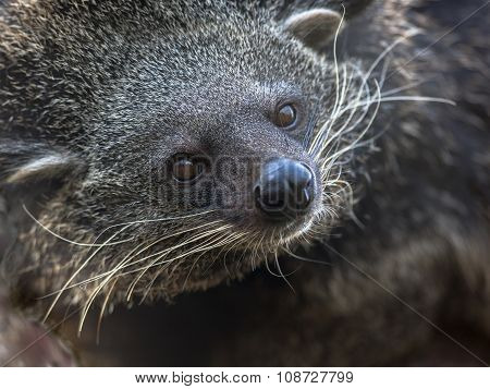 Portrait Of Binturong Or Bearcat