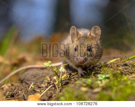 Wood Mouse In The Forest