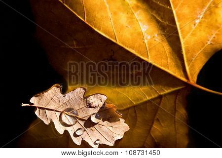 Two autumn leaves, maple and oak, floating in the water