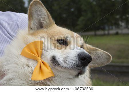Happy Welsh Corgi Pembroke In Bow-tie