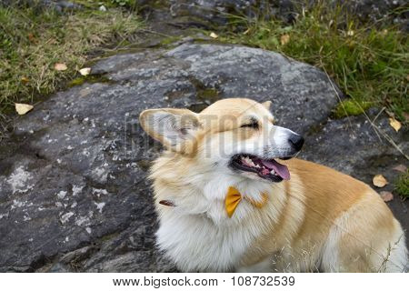Smiling Welsh Corgi Pembroke Dog