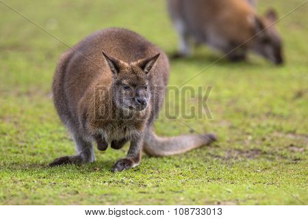 Feeding Bennet Wallaby