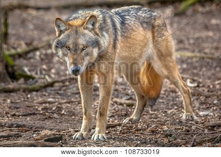 Frowning Grey Wolf