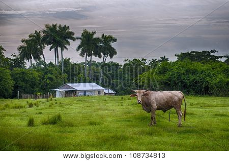 Cuban countryside landscape with cattle and hut, taken in Pinar del Rio, Cuba