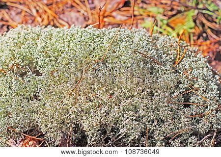 Moss or reindeer moss