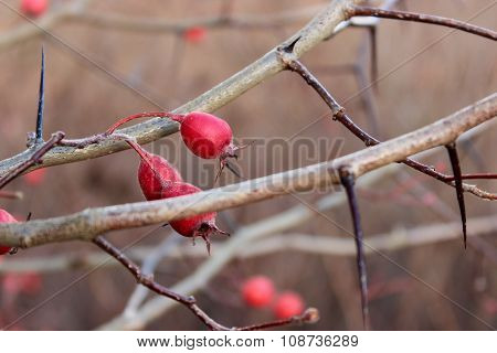 The rosehip berry