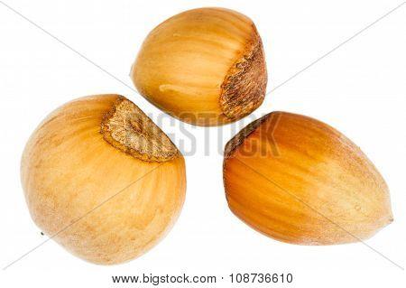 Three Forest Hazelnuts