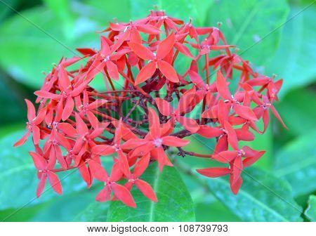 Flower Ixora-macrothyrsa, Hainan Island China, Hainan; Sanya, Yalong Bay, May 2011