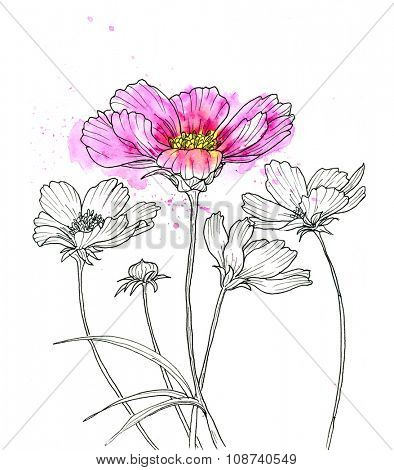 Line ink drawing of cosmos flower. Black contour on white background with watercolor