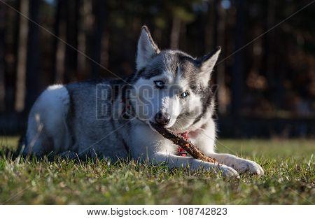 Siberian Husky Lies On Green Grass And Chews The Stick.