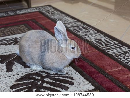 Golden Rabbit Domesticated Pet, Looking Ahead. Suitable For Children