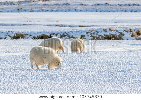 Icelandic Lambs In Winter Time