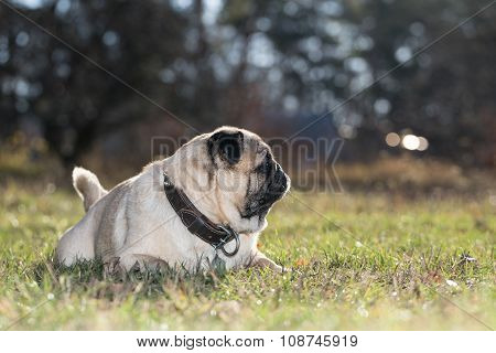 Pug Lies On Green Grass In The Park.