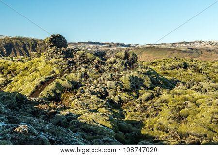 Icelandic Moss