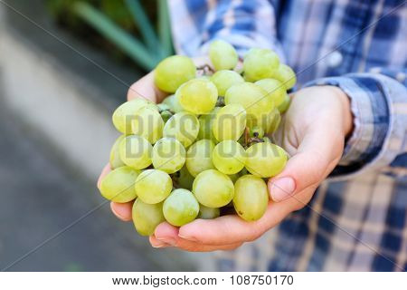 White grape harvest in woman's hands, close up