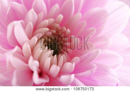 Tender pink chrysanthemum, macro