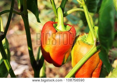 A pair of Bulgarian peppers in the garden close-up