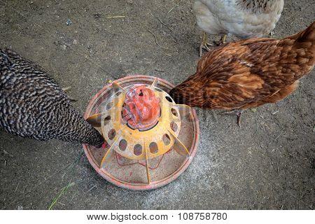 Domestic hens feeding on the traditional rural farm yard
