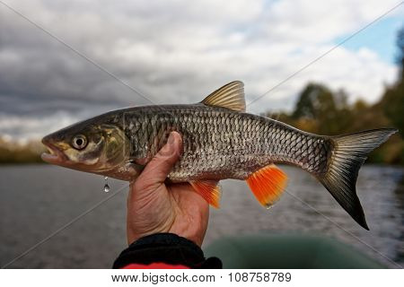 Chub in fisherman's hand, autumn catch