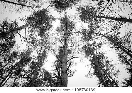 Black and white treetops, BW Coniferous trees, Autumn trees, Depressing trees