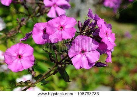Pink flowers phlox.