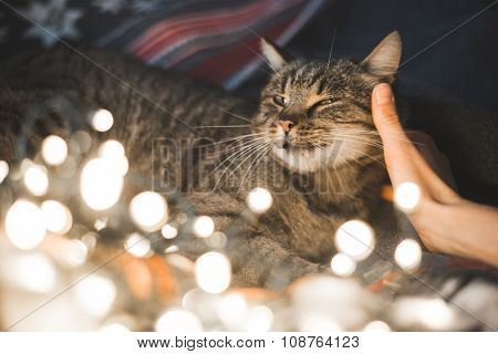 Human hand caresses cute cat head. Christmas lights in the foreground.