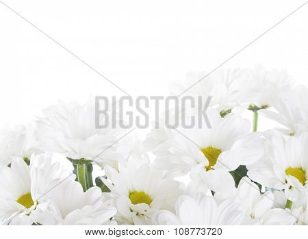 white Chrysanthemums isolated on a white background