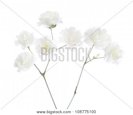 Gypsophila isolated on white background. Very shallow depth of field. Selective focus