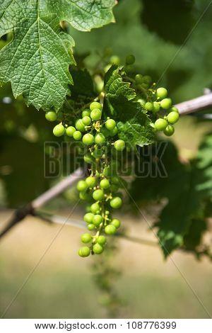Grapes In Vineyards