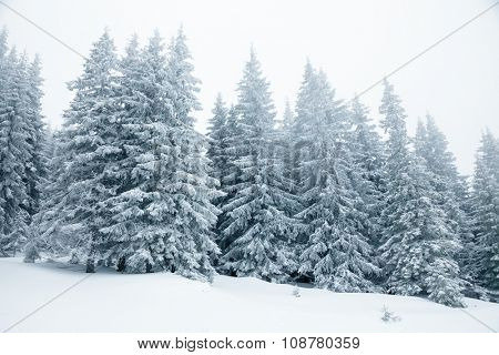 Fir trees covered with snow