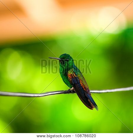 Humming bird resting on a wire Trinidad and Tobago
