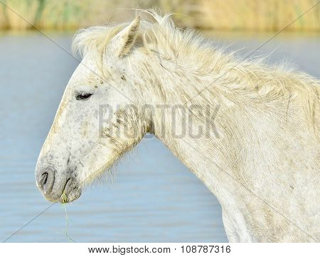 Portrait Of The White Camargue Horses