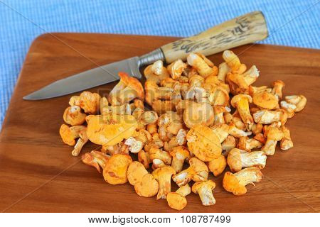 Freshly picked Golden Chanterelle (Yellow mushrooms) with a knife on wooden cutting board
